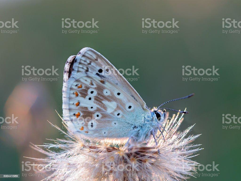 Gaze Wing Butterfly Lizenzfreies stock-foto