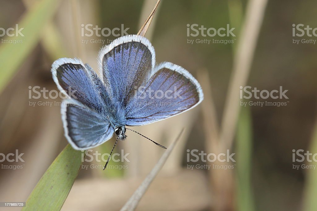 gossamer-winged butterfly. close-up royalty-free stock photo