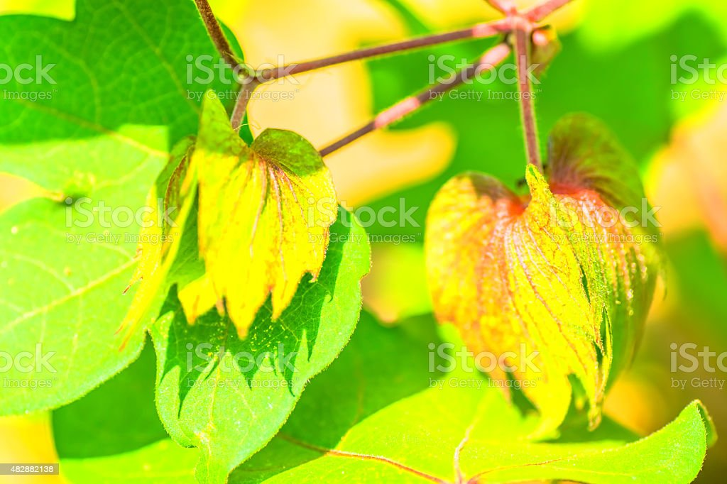 Gossypium hirsutum,  Malvaceae, America stock photo