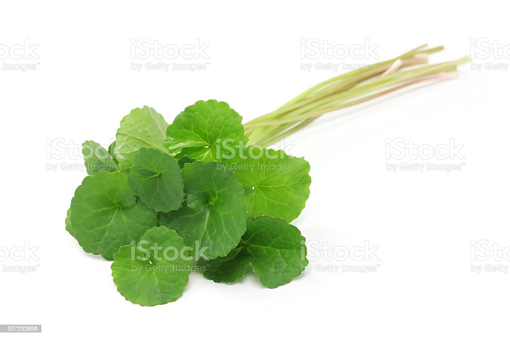 gotu kola, asiatic pennywort, centella asiatica stock photo