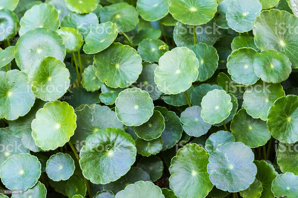 Gotu kola, Asiatic pennywort, Indian pennywort, green leaf backg stock photo