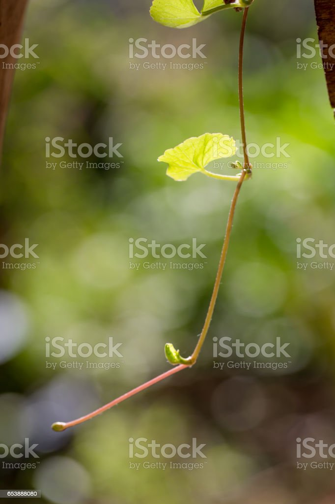 Gotu kola, Asiatic pennywort, Indian pennywort on green background stock photo
