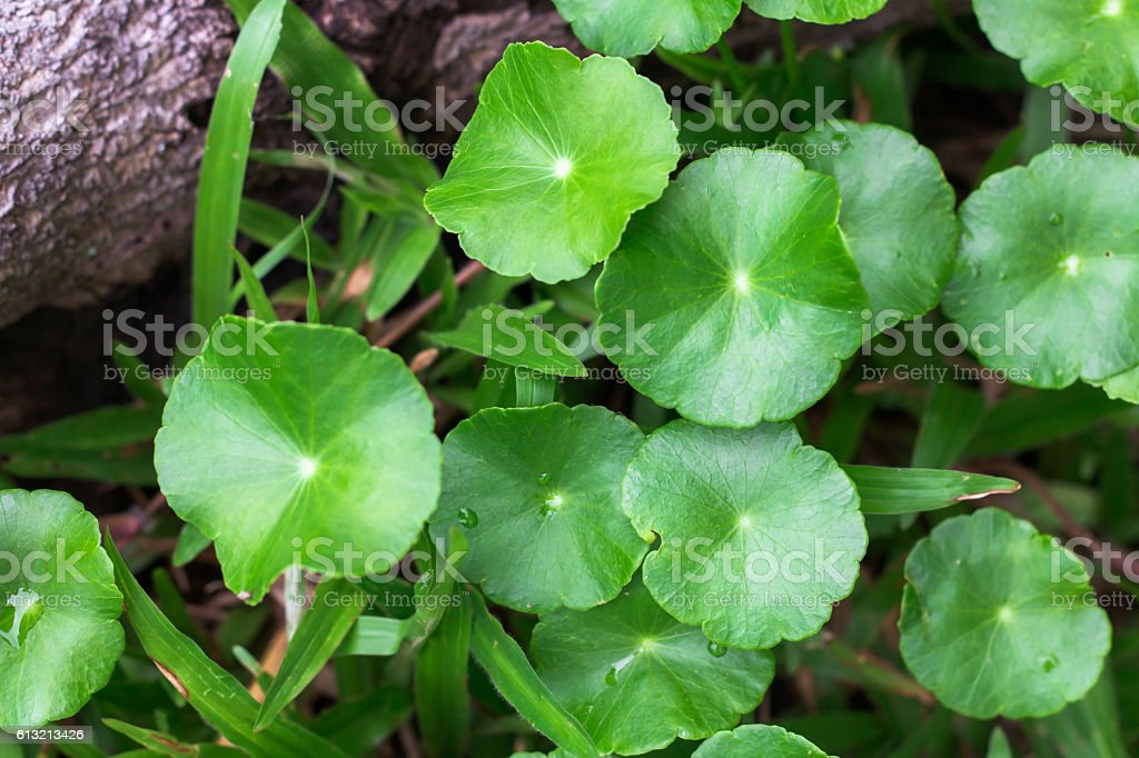 Gotu kola, Asiatic pennywort, Indian pennywort with water drops stock photo