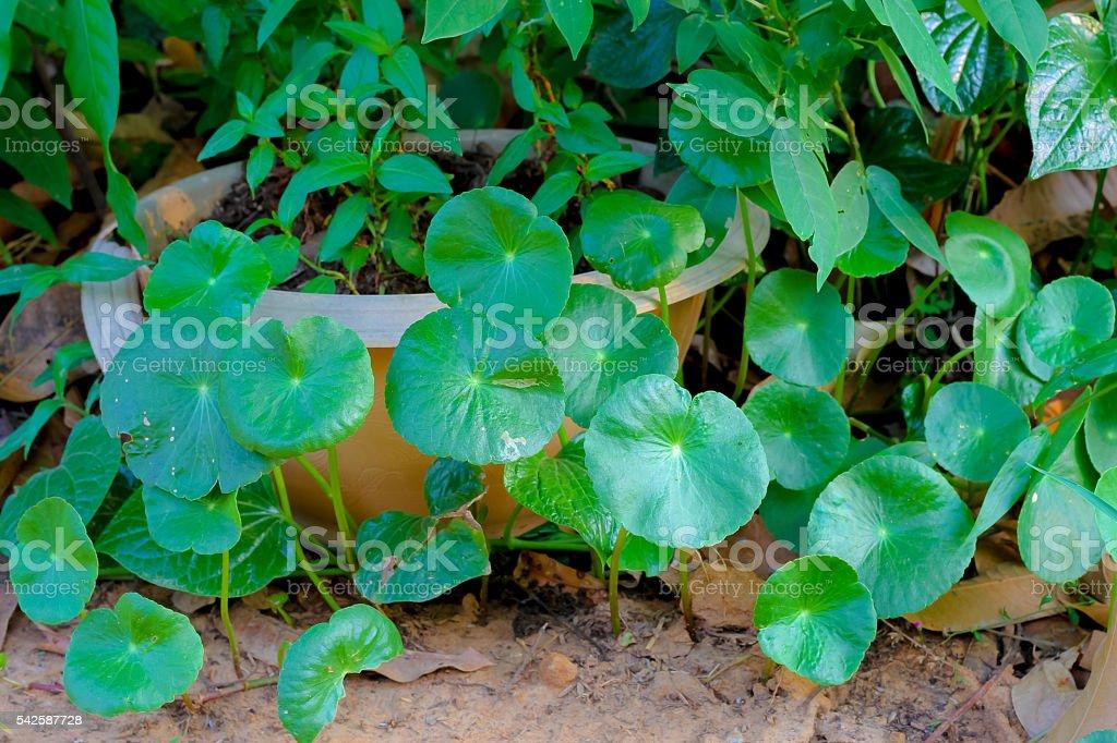 gotu kola background.Centella asiatica (L.) Urb. stock photo