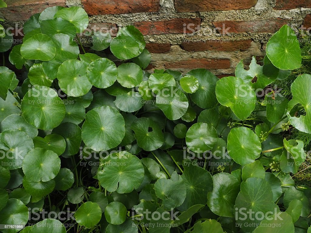 gotu kola in front of red brick wall. stock photo