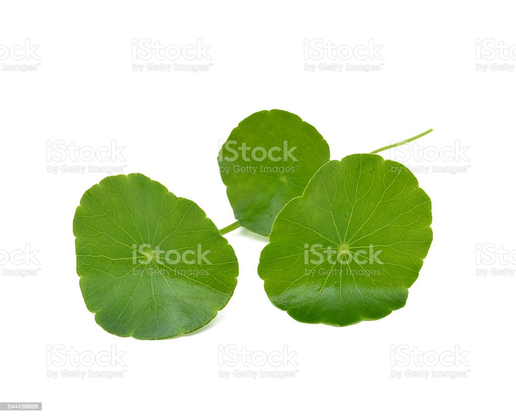 Gotu kola isolated on  white background stock photo