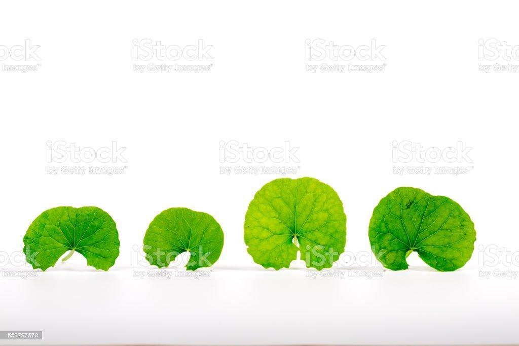 gotu kola leaves on white background stock photo