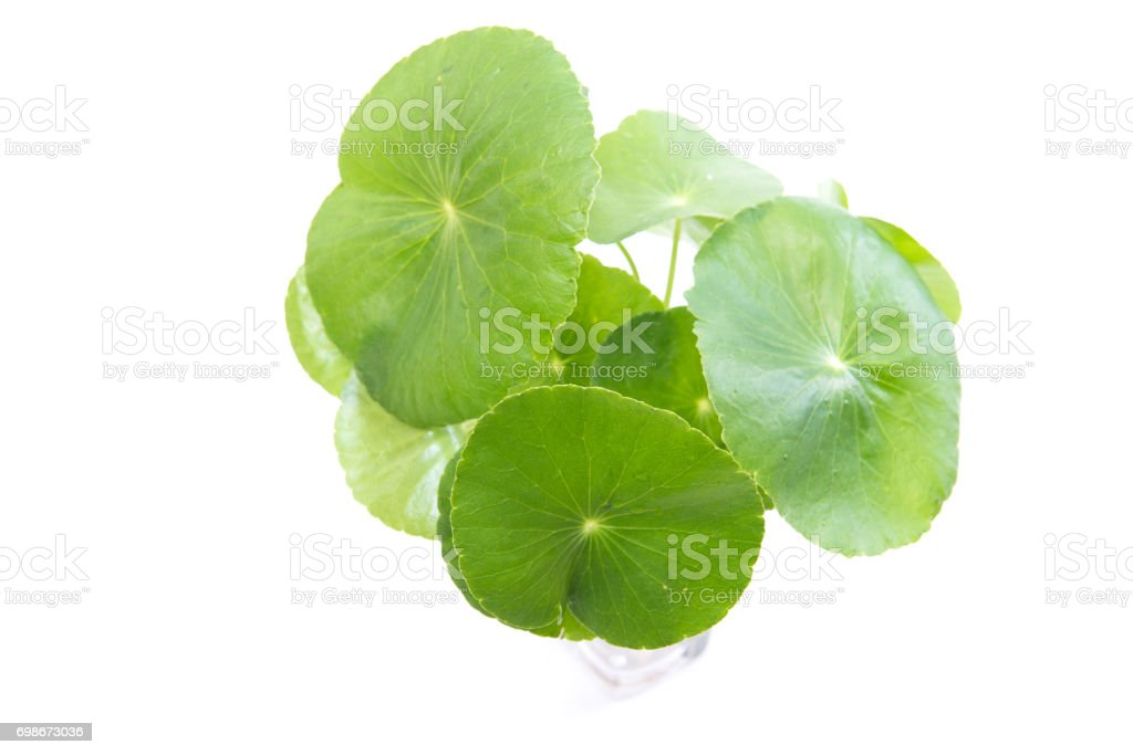 gotu kola leaves stock photo