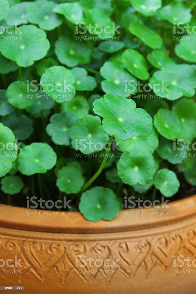 gotu kola royalty-free stock photo