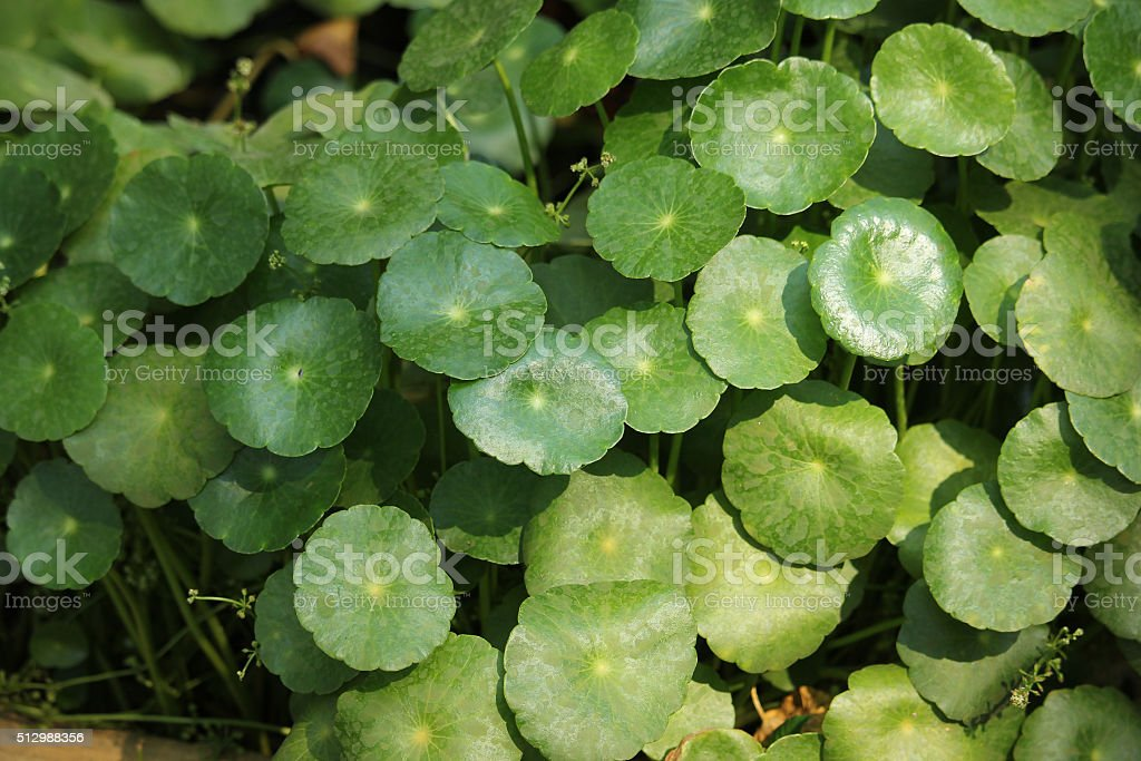 Gotu kola tree stock photo
