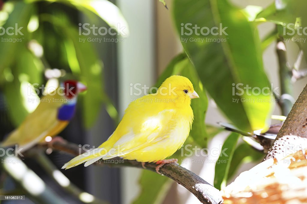 gouldian finch and a canary stock photo