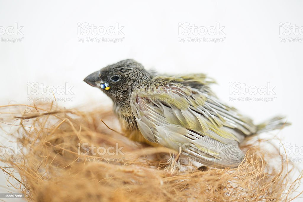 Gouldian finch hatchling in nesting material royalty-free stock photo