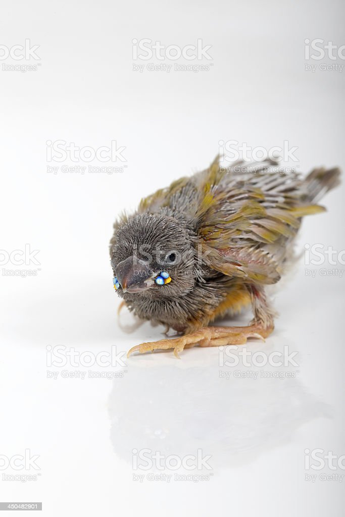 Gouldian finch hatchling royalty-free stock photo