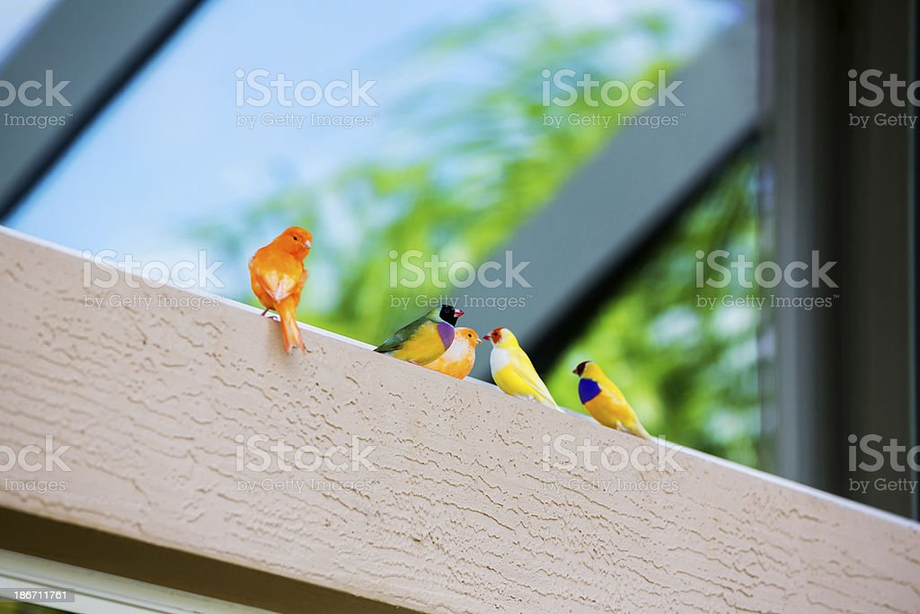 Gouldian Finches on a perch royalty-free stock photo