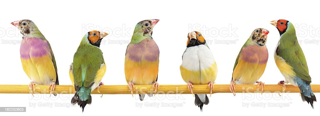 Gouldian Finches stock photo