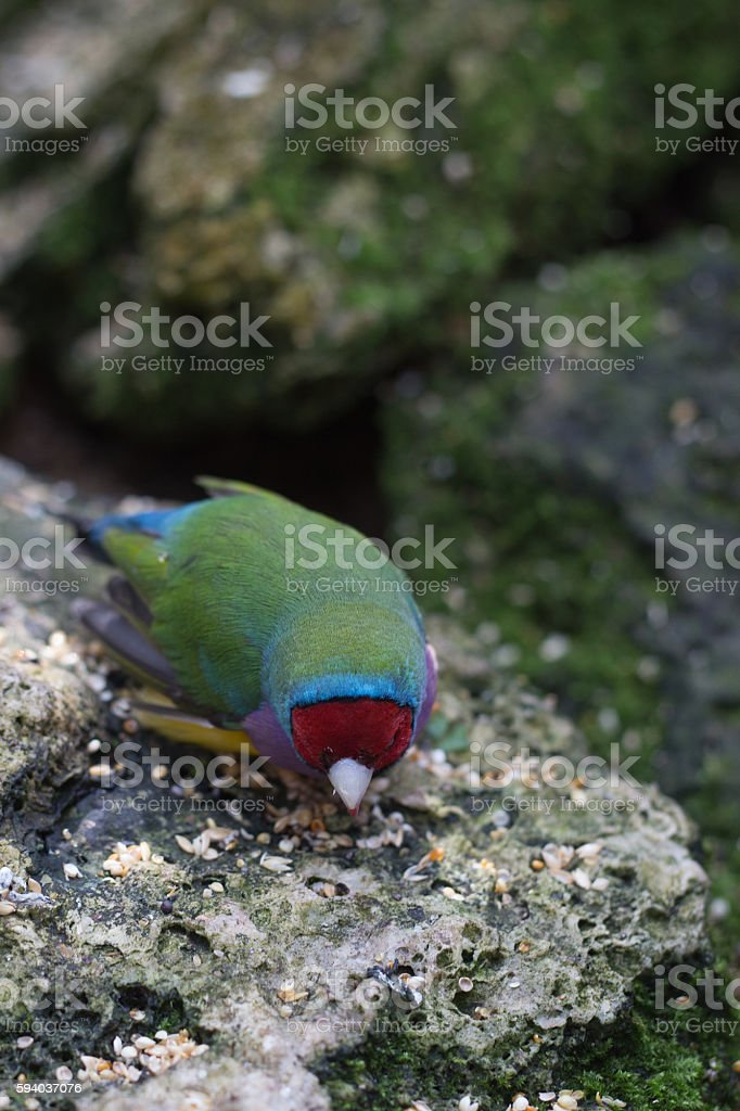 Gouldian Red Headed Finch stock photo