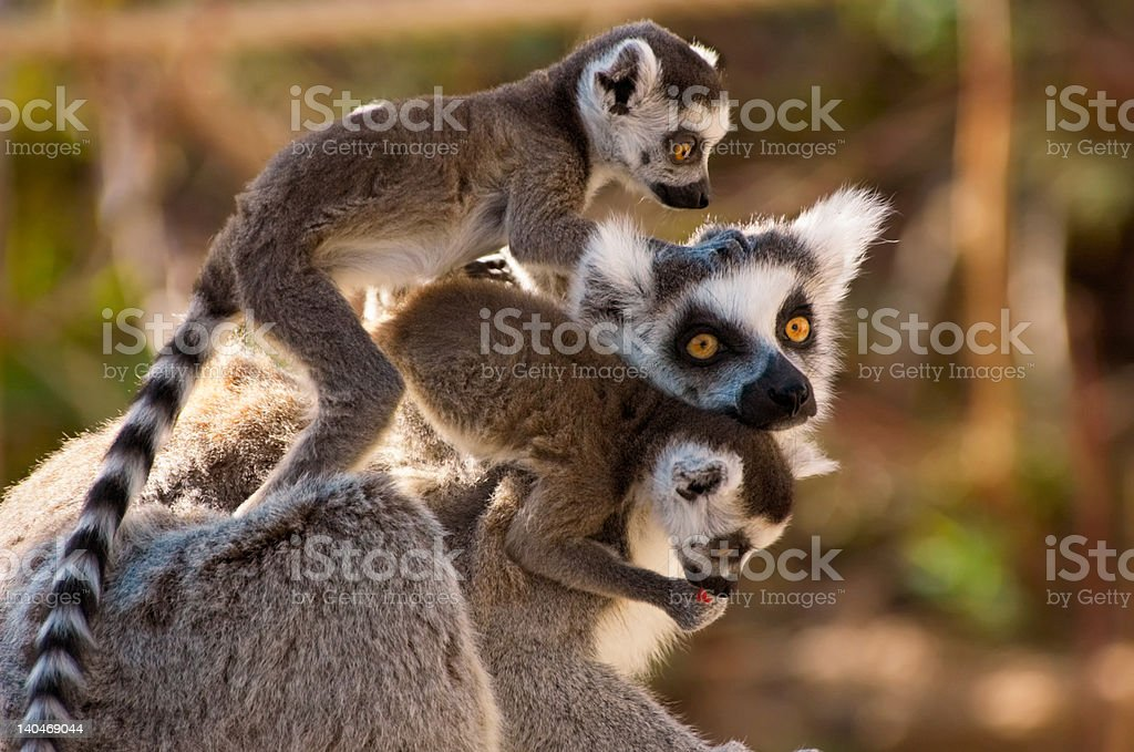 goup of cute ring-tailed lemurs royalty-free stock photo