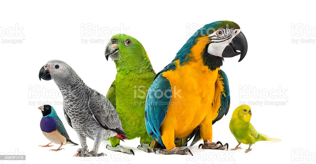 Goup of parrots in front of a white background stock photo