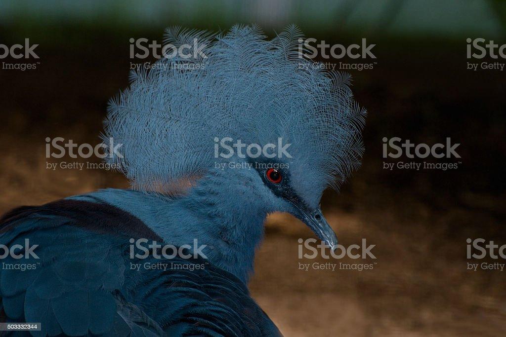 Goura couronné - goura cristata stock photo