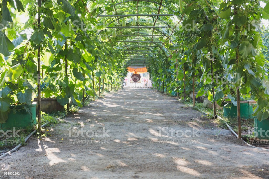 gourd, Calabash gourd, Flowered gourd, fruit and trees stock photo