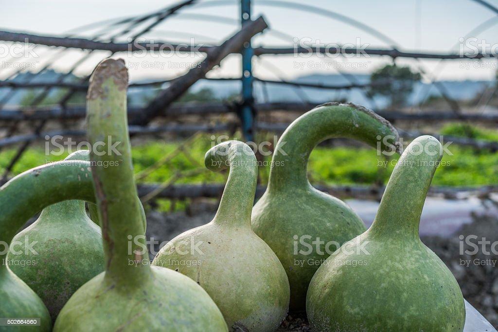 Gourd Plant pumpkin. stock photo