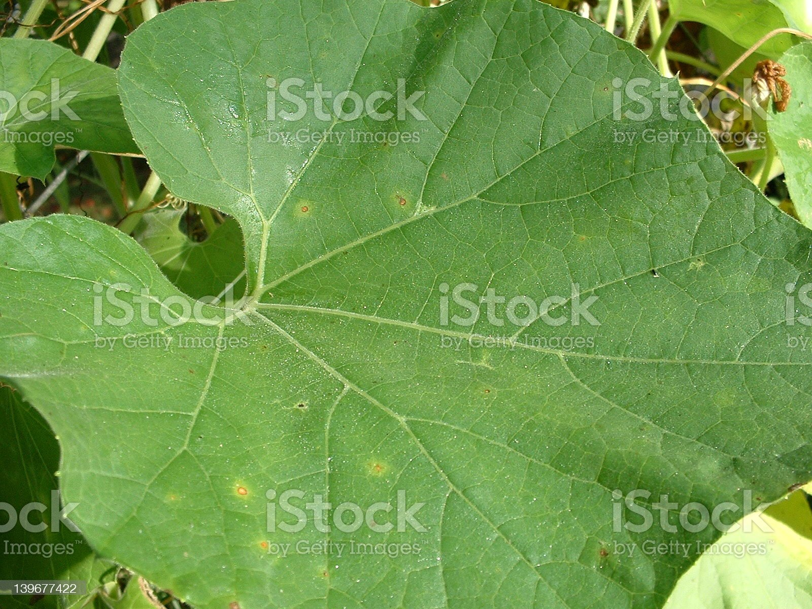 Gourded royalty-free stock photo