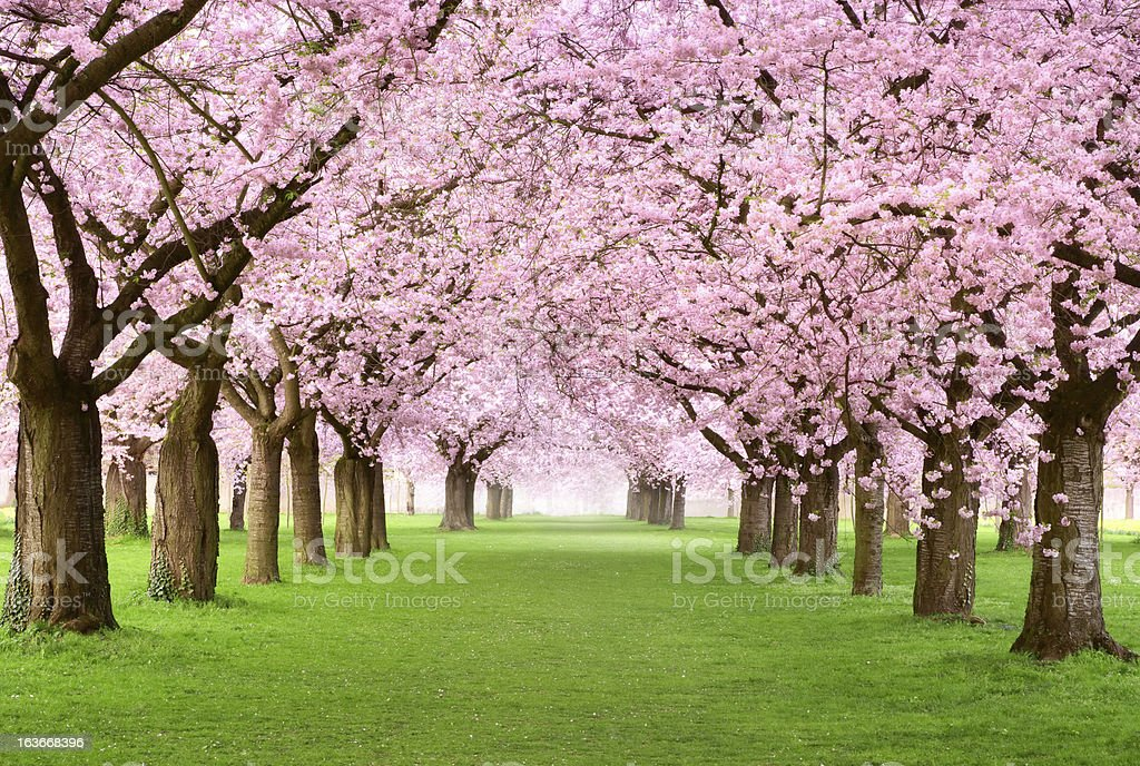 Gourgeous cherry trees in full blossom stock photo