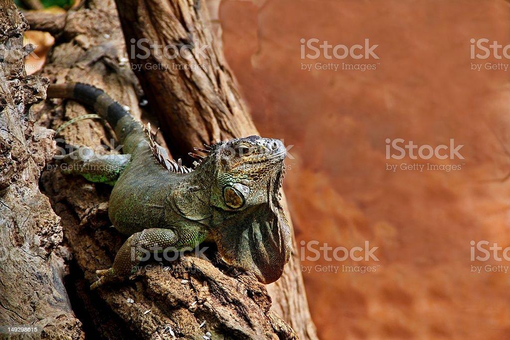 grüner Leguan stock photo