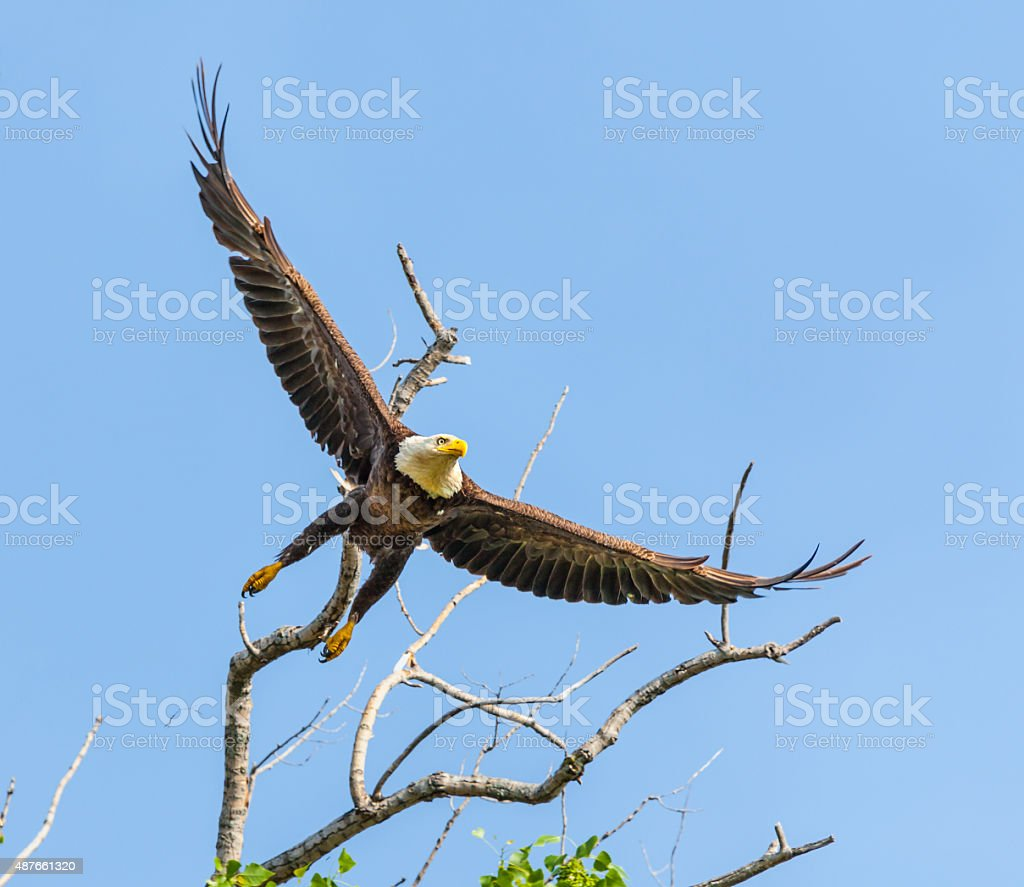 Graceful Bald Eagle dives from treetop stock photo