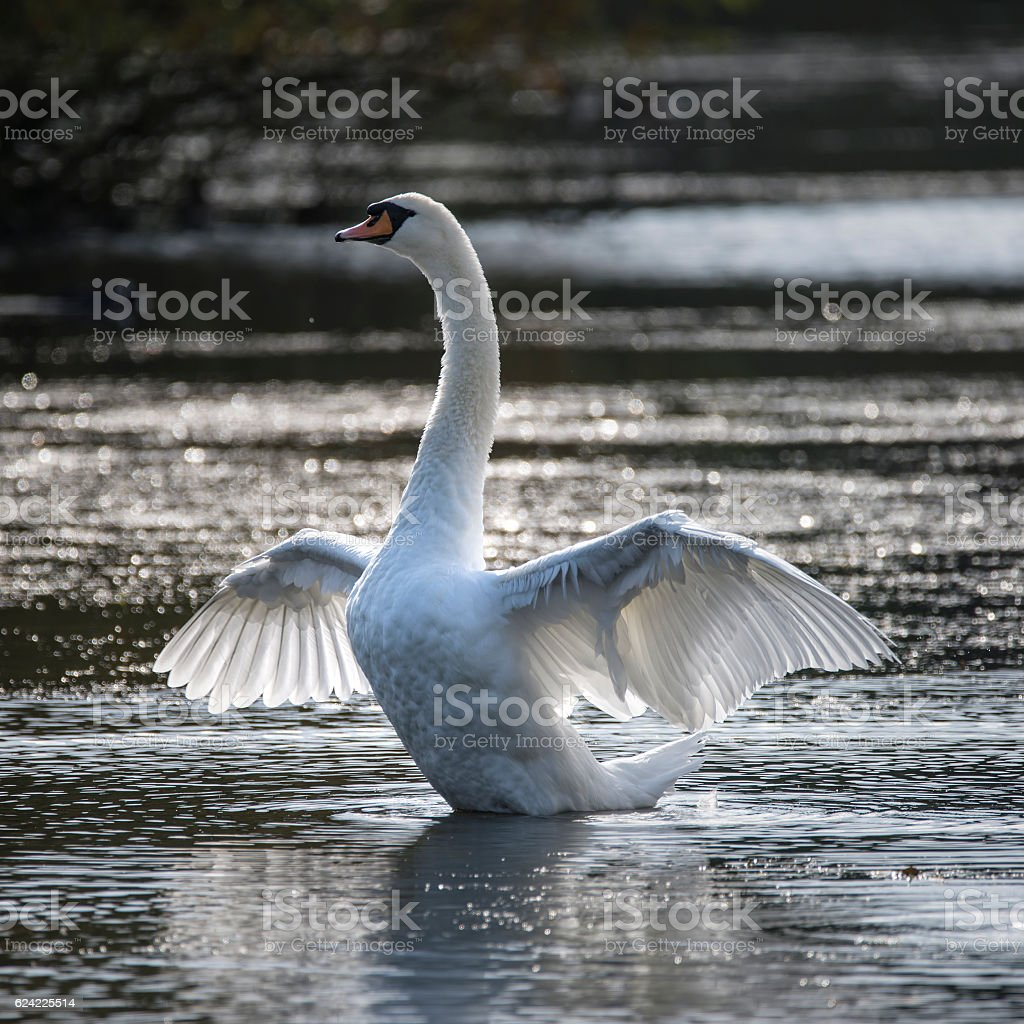 Graceful beautiful mute swan cygnus olor stretches it's wings on stock photo