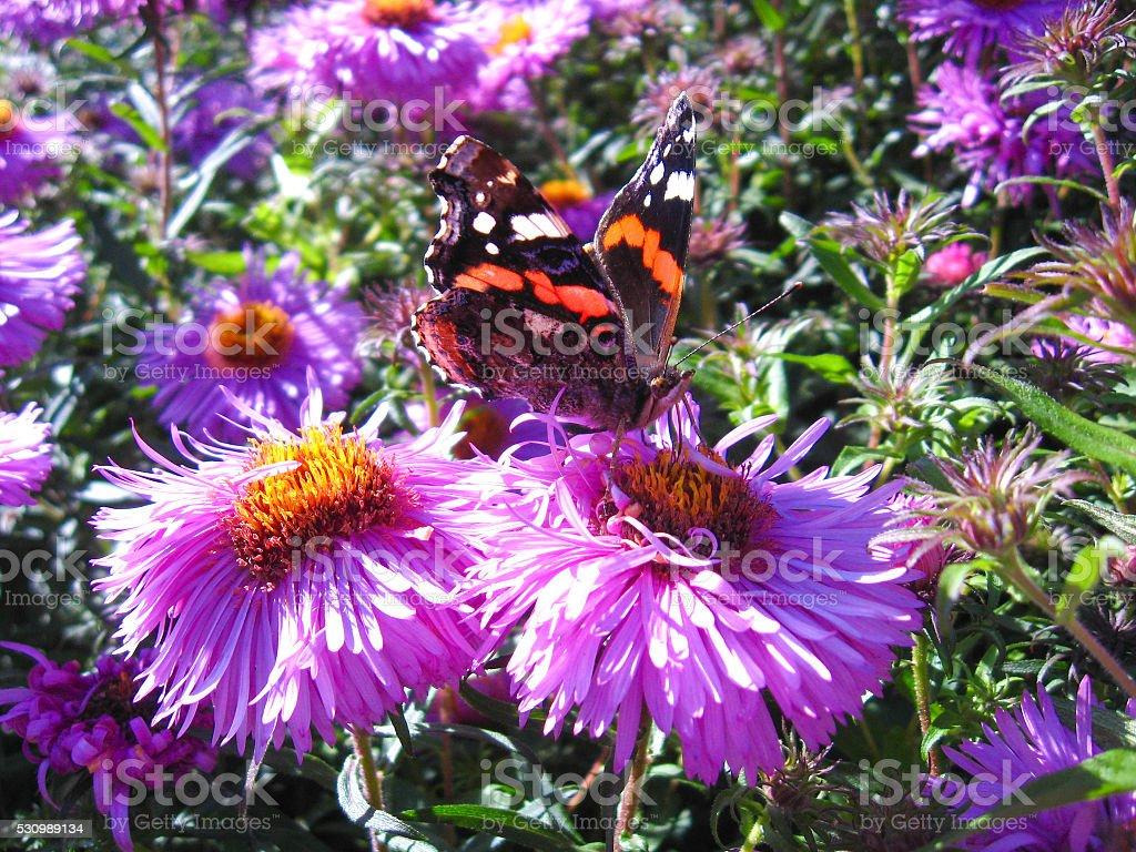 graceful butterfly of vanessa atalanta stock photo