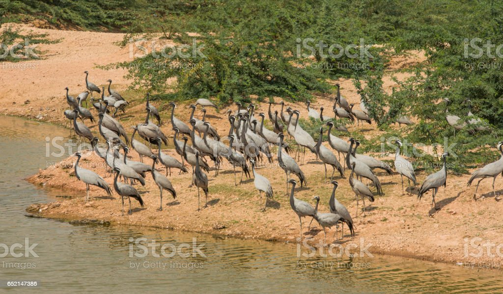 graceful Demoiselle cranes in Rajasthan, India stock photo