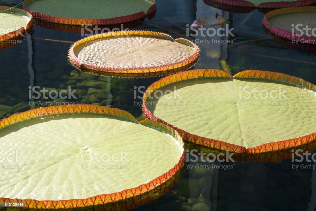 Graceful Giant Water Lily Background stock photo