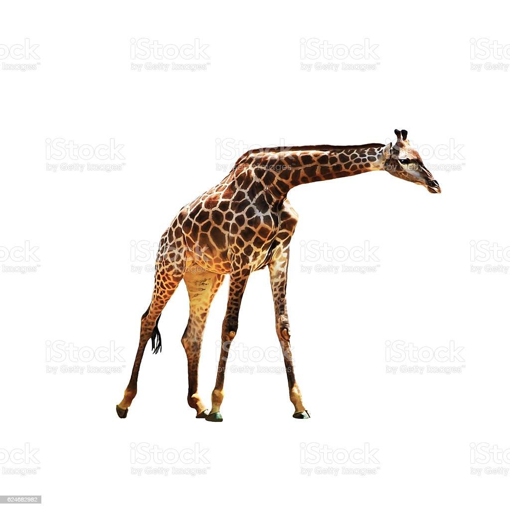 Graceful giraffe isolated. stock photo