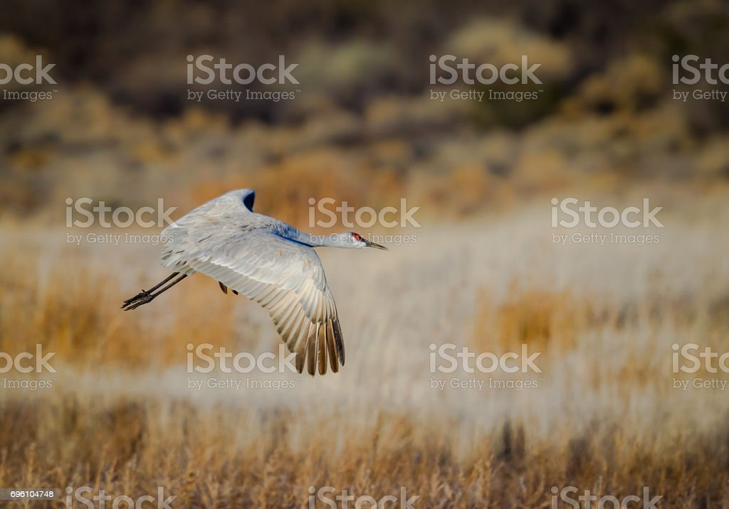 Graceful sandhill crane lifts off out of the pond at Bosque del Apache stock photo