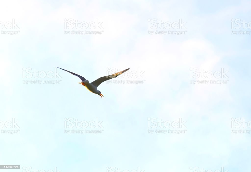 graceful seagull common gull bird in flight flying close up stock photo
