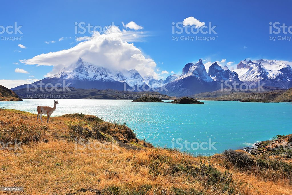Graceful silhouette guanaco on the lake Pehoe stock photo