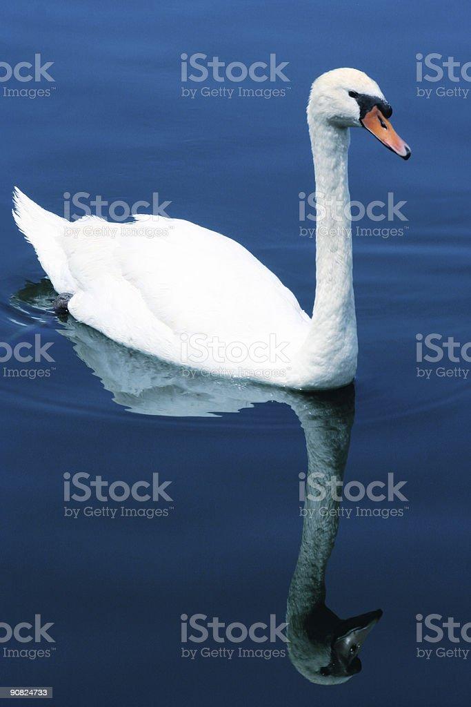 Graceful Swan stock photo