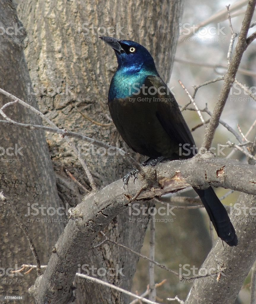 Grackle Bird Sitting in Tree stock photo