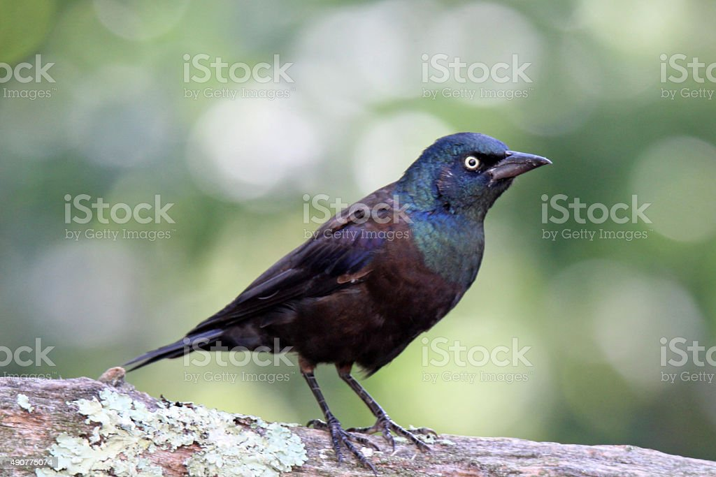 Grackle on a Branch stock photo