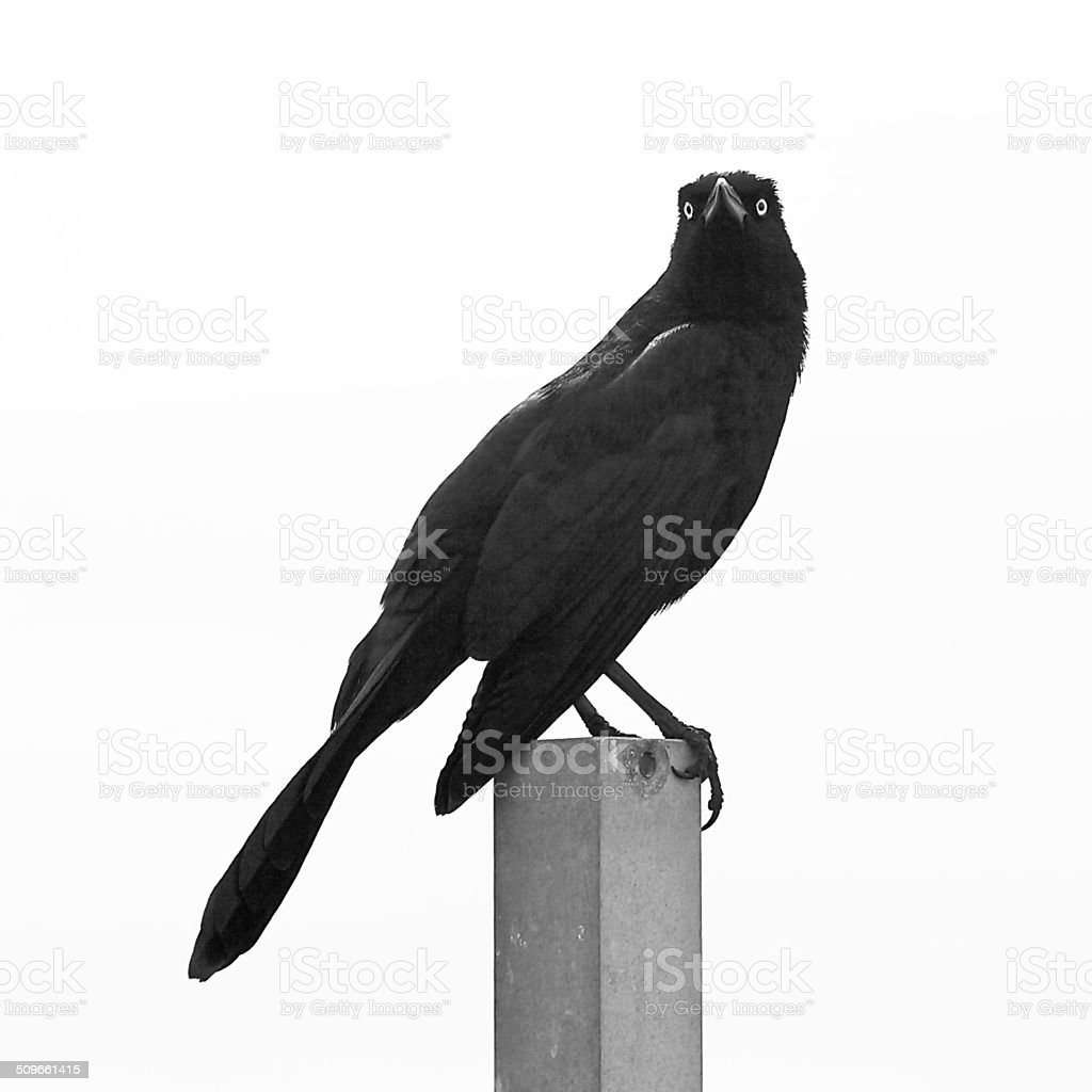 Grackle stock photo