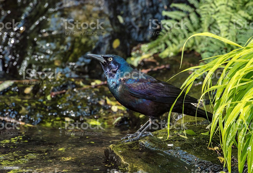 Grackle stops to get a drink stock photo