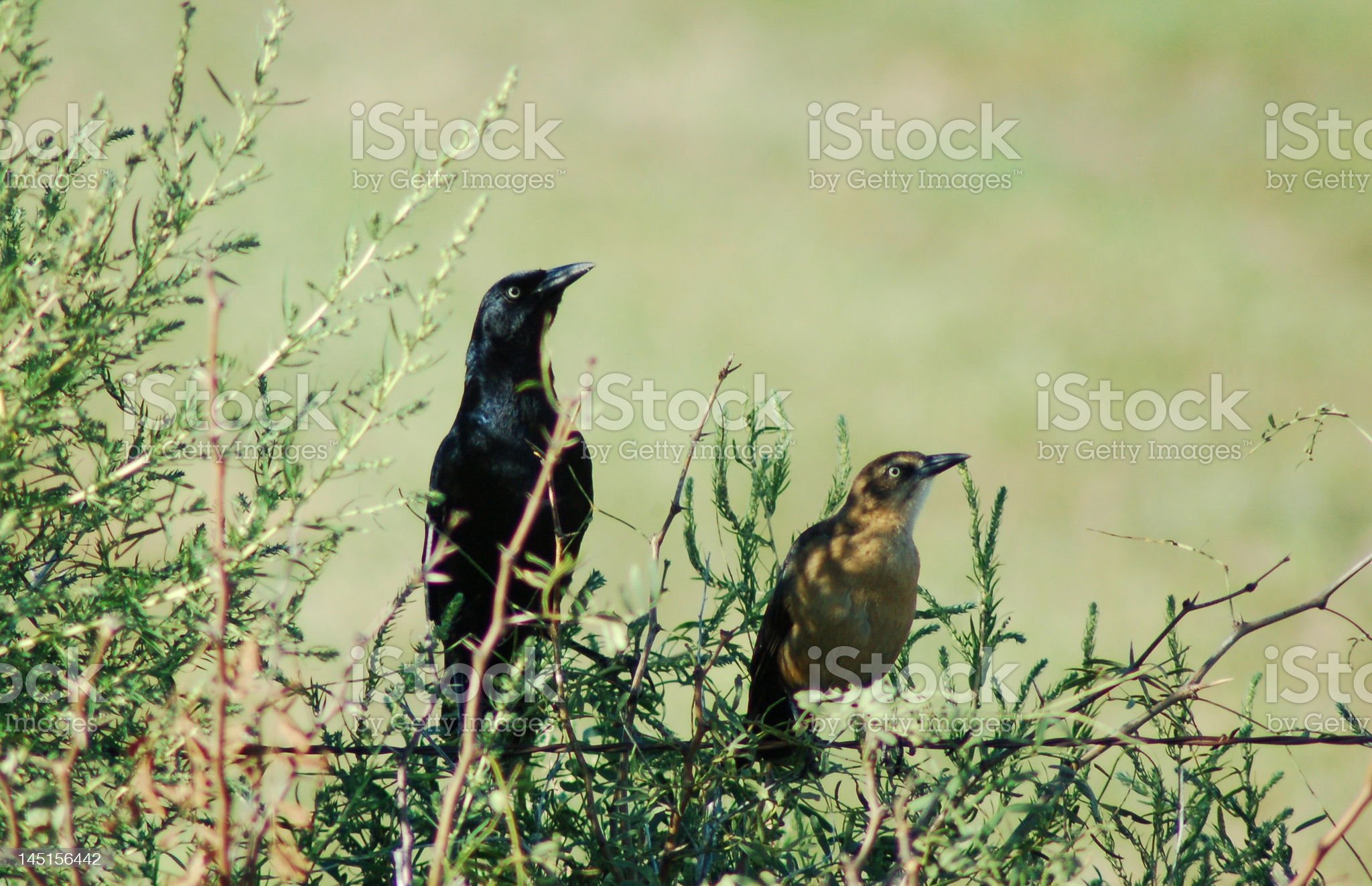 Grackles royalty-free stock photo