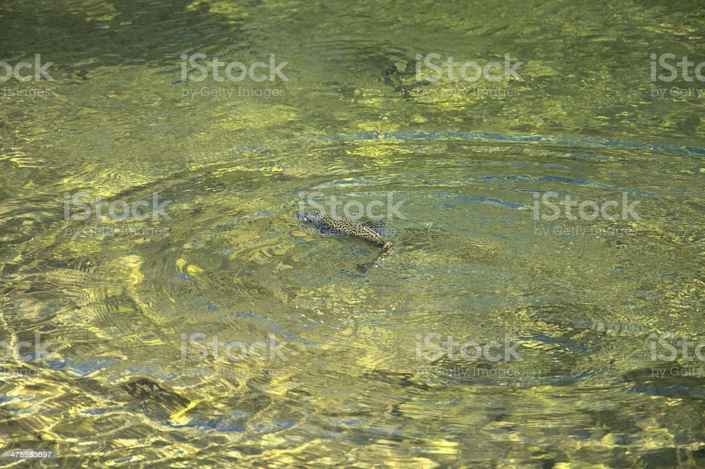 Gradac Trout royalty-free stock photo