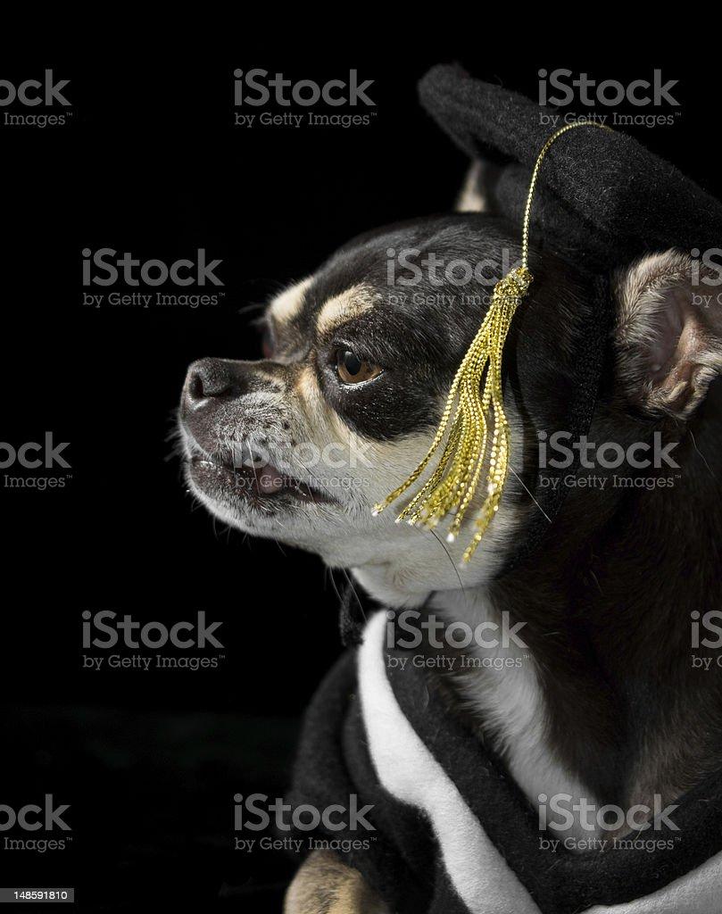 Graduation Dog royalty-free stock photo