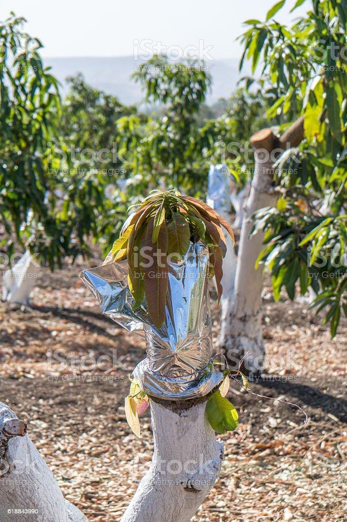 Grafting on a mango tree stock photo
