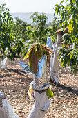 Grafting on a mango tree