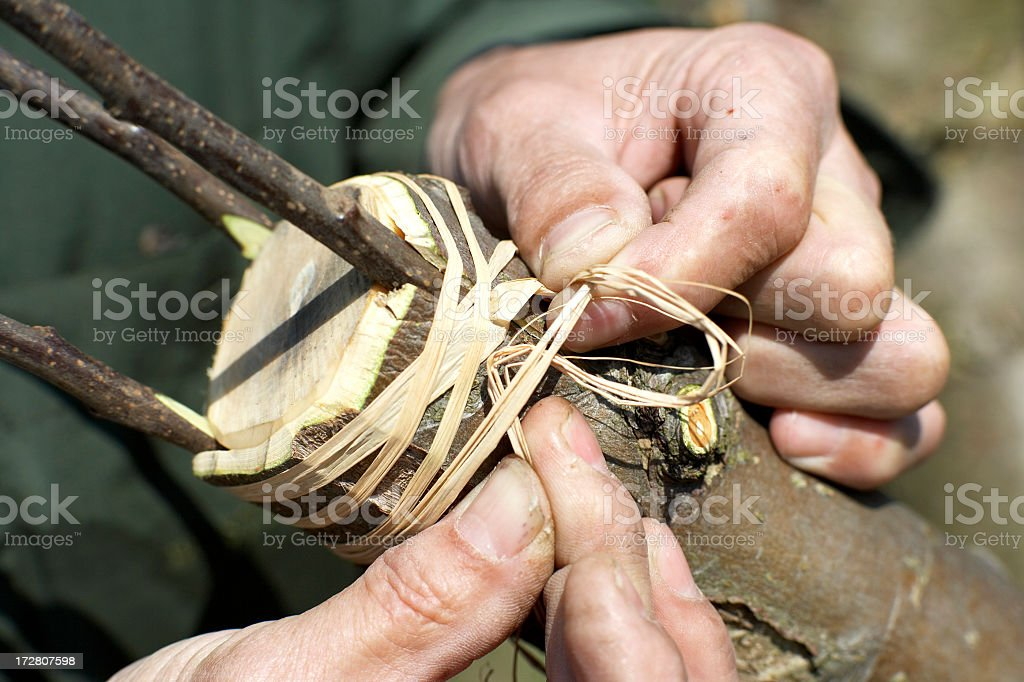 Grafting Series..... royalty-free stock photo