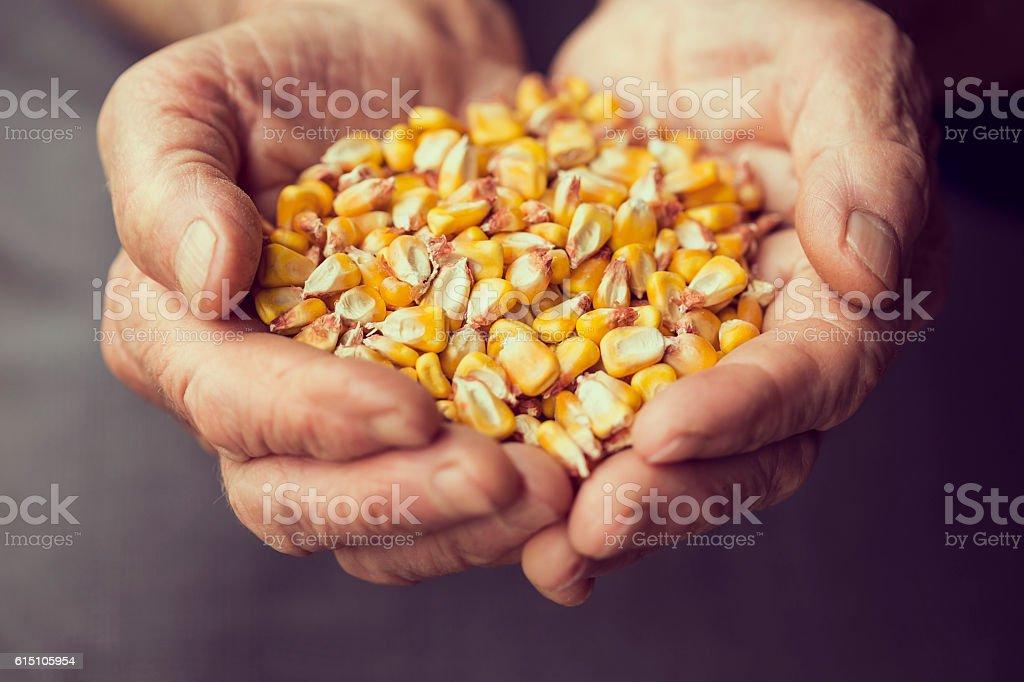 Grain corn stock photo