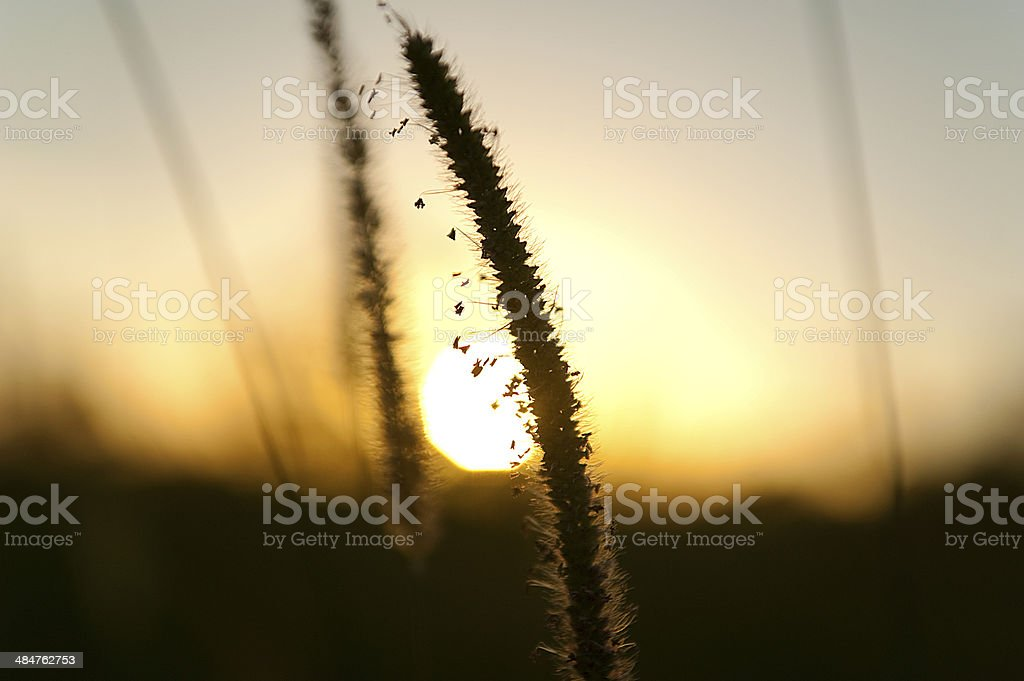 Grain detail at sunrise stock photo